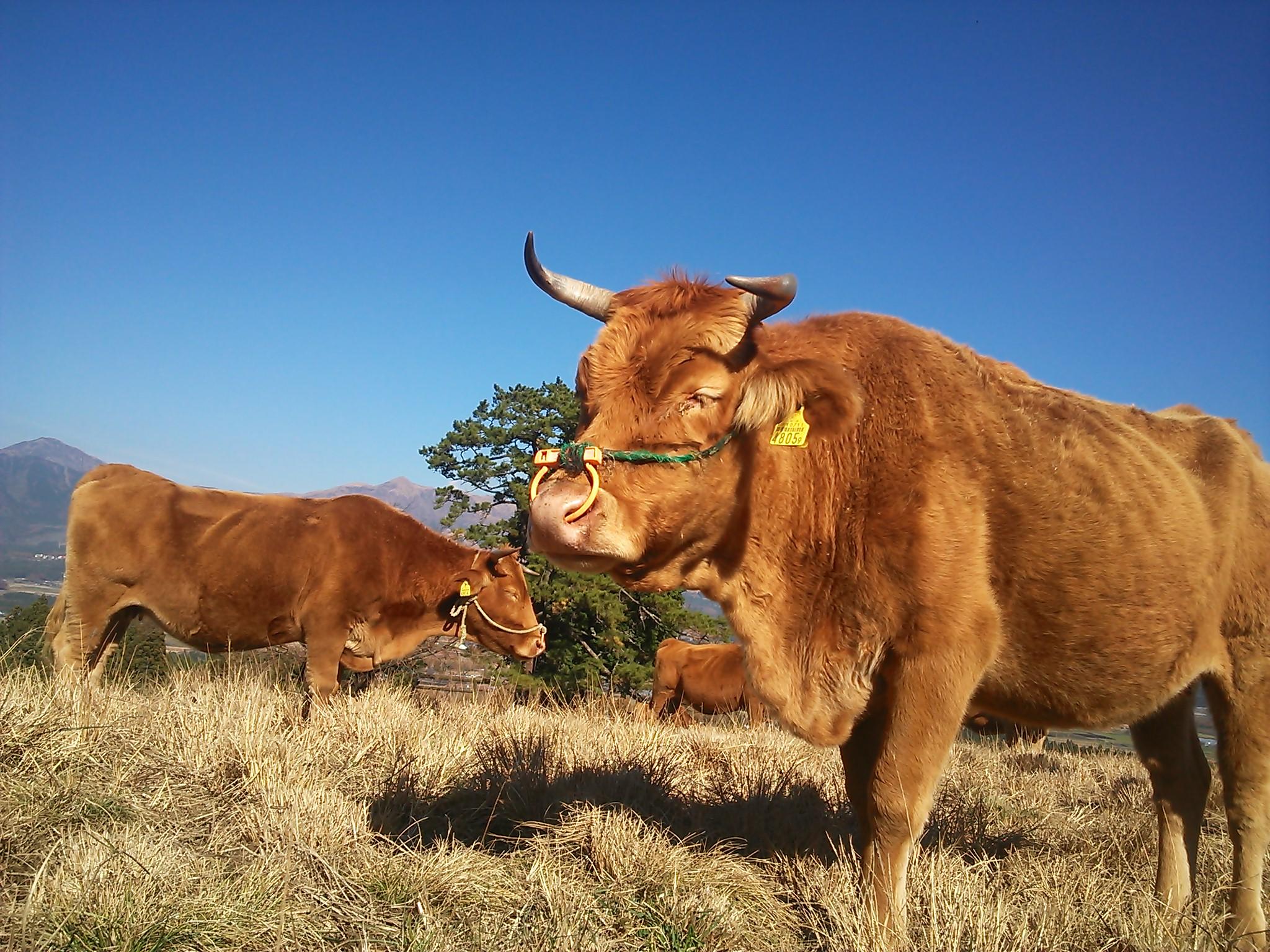 バイオマス発電には牛の糞も大切な資源となる。
