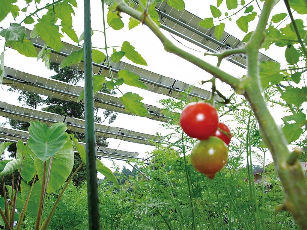 ソーラーシェアリングの生みの親、長島彬氏の実証試験場のトマトと太陽光パネル(パルシステムの雑誌『のんびる』2014年10月号より)